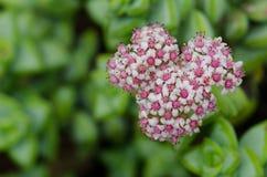 Inflorescence. Viera y Clavijo Botanic Garden. Tafira. Las Palmas de Gran Canaria. Gran Canaria. Canary Islands. Spain Royalty Free Stock Image