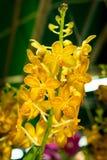 Inflorescence jaune de fleur des espèces de Vanda Images libres de droits