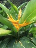 Inflorescence jaune et feuilles vertes de plantain de perroquets, psittacorum de Heliconia de plantain du ` s de perroquet photos libres de droits