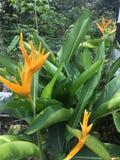 Inflorescence jaune et feuilles vertes de plantain de perroquets, psittacorum de Heliconia de plantain du ` s de perroquet image stock