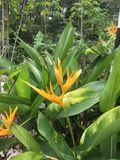Inflorescence jaune et feuilles vertes de plantain de perroquets, psittacorum de Heliconia de plantain du ` s de perroquet photos stock