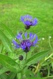 Blue Purple flower close up of Centaurea montana. Inflorescence and leaves of Centaurea montana Royalty Free Stock Photo