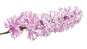 Inflorescence of light pink color lilac on white Stock Photo