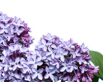 Inflorescence of lilac flowers isolated Royalty Free Stock Images