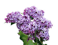 Inflorescence of lilac flowers isolated Stock Image