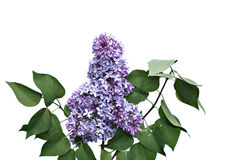 Inflorescence of lilac flowers isolated Royalty Free Stock Photos