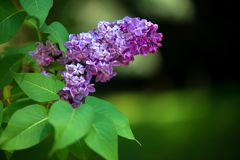 The inflorescence of lilac purple flowers, close-up. Selective focus, space for text royalty free stock photo