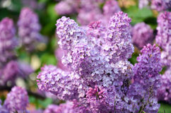 Inflorescence of lilac in the spring Stock Images