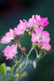 Inflorescence little pink roses Royalty Free Stock Photo