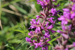 Inflorescence of a Lythrum salicaria (purple loosestrife) plant Stock Image
