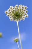 Inflorescence marsh peucedanum on blue sky background. (view from below Stock Photography