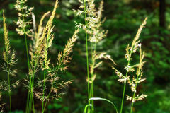 Inflorescence of meadow grass on sun Stock Photography