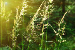 Inflorescence of meadow grass on sun Royalty Free Stock Photos