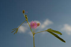 Inflorescence of Mimosa Pudica. The moving plant Royalty Free Stock Photo