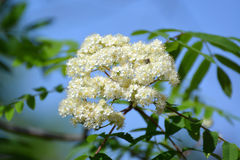 Inflorescence of a mountain ash ordinary (Sorbus aucuparia L.) a. Gainst the blue sky. White flowers Royalty Free Stock Images