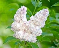 Free Inflorescence Of A White Terry Lilac Syringa L. Grades `Beauty Of Moscow` Krasavitsa Moskvy Stock Photos - 138043853