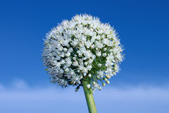 Inflorescence of onion Royalty Free Stock Photos