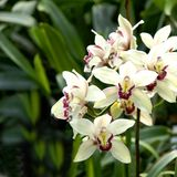 Inflorescence of orchids. Stock Images