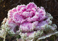 Inflorescence ornamental cabbage Royalty Free Stock Photos
