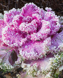 Inflorescence ornamental cabbage Stock Image