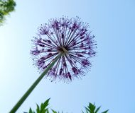 Inflorescence ornamental onions (Allium) Stock Photography