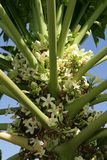 Inflorescence, papaya tree Royalty Free Stock Photo
