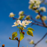 Inflorescence pears Stock Photography