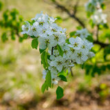 Inflorescence pears Royalty Free Stock Images