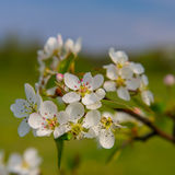 Inflorescence pears Stock Images