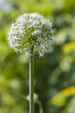 Inflorescence pelucheuse d'oignon Photographie stock