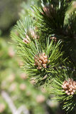Inflorescence of a Pine Tree Royalty Free Stock Photo