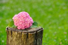 Inflorescence of Pink Hydrangea on Tree Stump Royalty Free Stock Photos