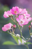 Inflorescence pink roses Royalty Free Stock Images