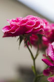 Inflorescence pink shrub roses Royalty Free Stock Photos