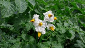 Inflorescence of potatoes in the garden stock photos