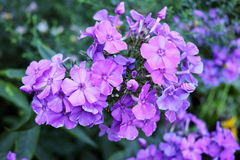 Inflorescence purple phlox Royalty Free Stock Photography