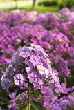 Purple phloxes Stock Photography