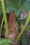 Inflorescence rougeâtre de manicata de Gunnera photo libre de droits