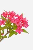 Inflorescence rouge Photo libre de droits