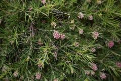 Inflorescence rouge de rosmarinifolia de Grevillea images libres de droits