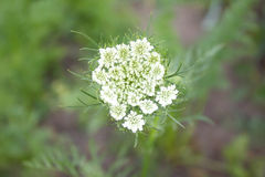 Inflorescence seeds of parsley Royalty Free Stock Photo