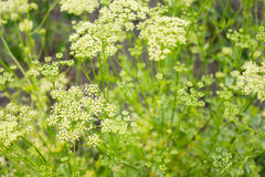 Inflorescence seeds of parsley Royalty Free Stock Image