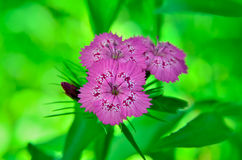 Inflorescence of small carnations growing in the garden Royalty Free Stock Photography