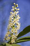 Inflorescence Spring Royalty Free Stock Photo