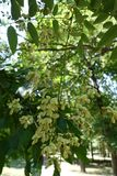 Inflorescence of Styphnolobium japonicum in july. Inflorescence of Styphnolobium japonicum tree in july Royalty Free Stock Photography