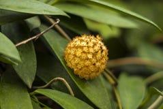 Inflorescence of a succulent liana Hoya closeup stock images