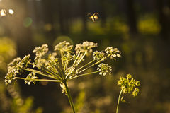 Inflorescence of an umbelliferous plant Royalty Free Stock Image