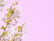 Inflorescence une belle fleur blanche de Sakura Images stock
