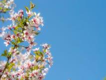 Inflorescence une belle fleur blanche de Sakura sur les branches contre le ciel bleu clair au soleil Image stock