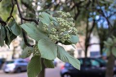 Inflorescence verte de feuilles et de bourgeons de châtaigne photo stock